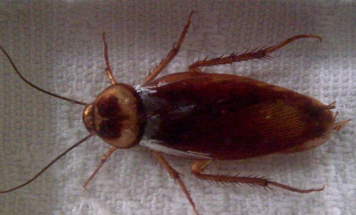 蟑螂的危害与防治