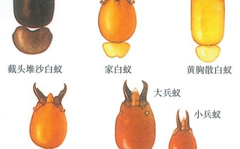 区分大头金蝇和丝光禄蝇的习性